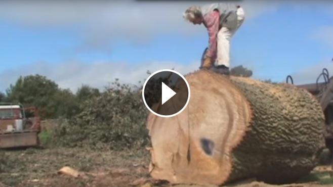 Big Ford Trucks >> How To Cut a Huge Tree Trunk ! BIG TREE vs BIG CHAIN SAW