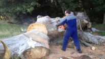 The Biggest Stihl Chainsaw Cuts Huge Blue Gum