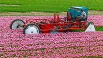 That's AMAZING To Watch! Topping Tulips With A Homebuilt Topping Machine